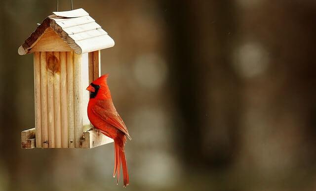 cardinal-2088216_640